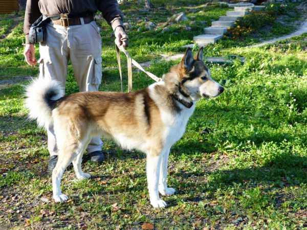 Ненецкая лайка - красивые фото щенков и взрослых собак породы Ненецкая лайка