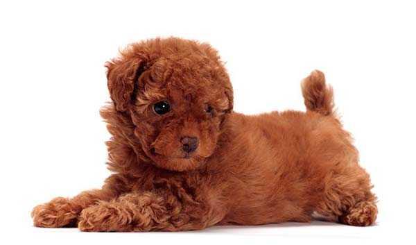 плюшевые породы собак