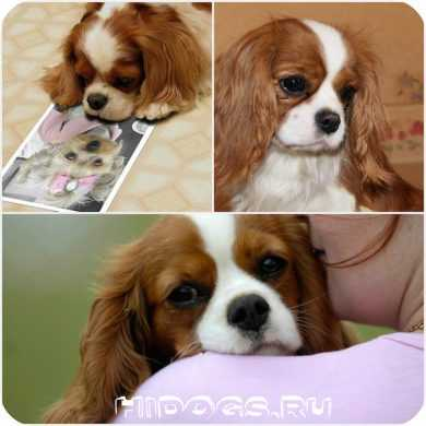 порода собаки принц