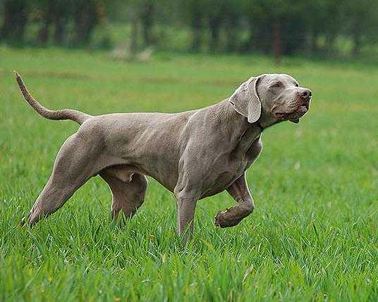 собака призрак порода
