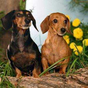 Собака порода такса доклад и описание 9890